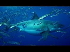 20+ Foot Megashark Filmed in Mexican Waters, likely the largest ever filmed | sarahjayneiw