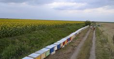 Din creierii munților și din parfumata câmpie...: Să curgă mierea... Railroad Tracks, Vineyard, Outdoor, Beekeeping, Fragrance, Outdoors, Vine Yard, Vineyard Vines, Outdoor Games