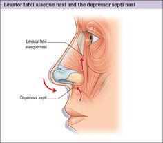 depressor septi nasi - Google 검색 비중격 내림근; 코끝 내림근; 비중근(Depressor septi nasi)  웃을때에 코끝을 내리고, 입술을 올리며, 코날개를 옆으로 퍼지게 한다
