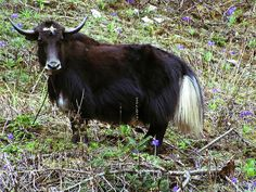 Dzo (Cow + Wild Yak) - 18 Hybrid Animals That Are Hard To Believe Actually Exist