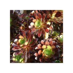 Plante grasse formant un petit arbre, aux feuilles devenant rouge au soleil.