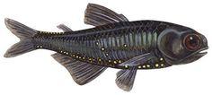 Metallic lanternfish (Myctophum affine)