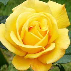 A yellow rose!!!