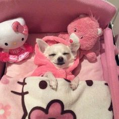 Effective Potty Training Chihuahua Consistency Is Key Ideas. Brilliant Potty Training Chihuahua Consistency Is Key Ideas. Teacup Chihuahua, Chihuahua Love, Chihuahua Puppies, Cute Puppies, Cute Dogs, Cute Little Animals, Cute Funny Animals, Little Dogs, Funny Dogs