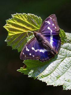 Purple Emperor - by bromley