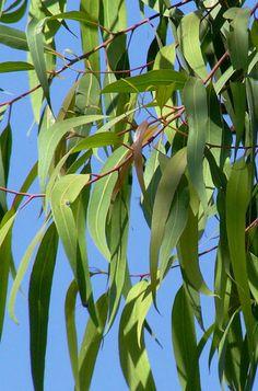eucalyptuscitridora