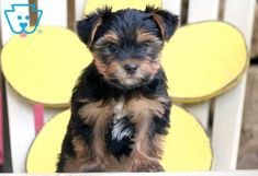 Timmy | Morkie Puppy For Sale | Keystone Puppies  #Morkie #keystonepuppies
