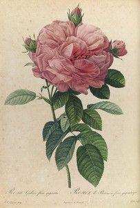 rosa_gallica