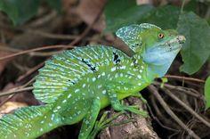 Green basilisk lizard sitting in the shade beside the Penitencia River