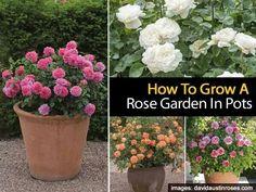 Rose Garden in pots