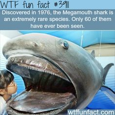 WTF Facts : funny, interesting & weird facts — The Megamouth shark, rarest types of sharks Wow Facts, Wtf Fun Facts, True Facts, Funny Facts, Random Facts, Interesting Facts About Sharks, Fun Facts About Sharks, Weird Sharks, Funny Sharks