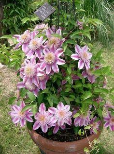 Top 10 Climbing Plan Flowers Garden Love