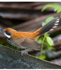 Manus Fantail (Rhipidura semirubra) - endemic to the Admiralty Islands of Papua New Guinea. Kinds Of Birds, All Birds, Tiny Bird, True Beauty, Bird Feathers, Beautiful Birds, Asian Art, Bunt, Wildlife