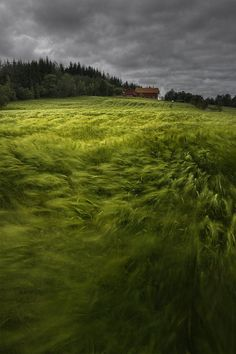 A Norwegian Wave.  Wheat crop waving in the wind.  [Can you hear the rustling of the grass?]  by Andy Astbury.
