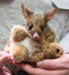 An orphaned brushtail possum joey nicknamed 'Bettina' plays with a cuddly toy at Taronga Zoo. Zoo keeper Felicity Evans has taken on the role of surrogate mother to the four-month-old possum, carrying a makeshift pouch and waking in the middle of the night to bottle feed and toilet the joey.