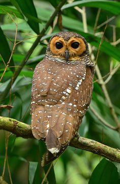 Spotted Wood Owl by Jovan37, via Flickr