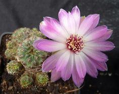 Sulcorebutia rauschii flor blanca rosada inj