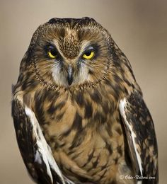 Google Image Result for http://www.ohio-nature.com/image-files/short-eared-owl-lg.jpg
