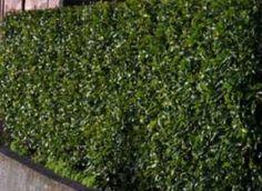 FRAGRANT FLOWERING HEDGE - Port Wine Magnolia (slow growing, highly fragrant for many months). Fence Plants, Backyard Plants, Garden Plants, Landscape Design, Garden Design, Garden Inspiration, Garden Ideas, Garden Hedges, Living Fence