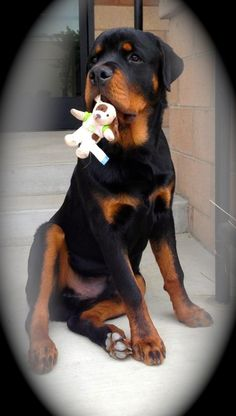 Rottweilers are always big babies at heart