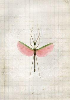 Emiko Franzen - Insect Study Card Pink Walking Stick