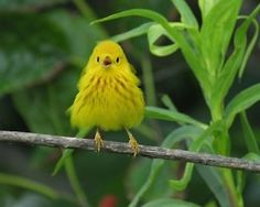 fairy-wren:    yellow warbler  (photo by jane wang)