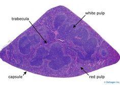 Spleen histology