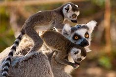 Лемуры - символ Мадагаскара