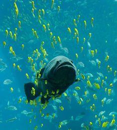 A giant grouper [ Epinephelus lanceolatus ] at the Georgia Aquarium, seen swimming among schools of other fish Georgia Aquarium, Fishing Bait, Saltwater Fishing, Spear Fishing, Barbados, Betta, Grouper Fish, Trout Bait, Equador