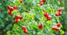 Šípkový čaj posílí vaši odolnost vůči chřipce a dalším infekčním chorobám. Stuffed Peppers, Fruit, Vegetables, Stuffed Pepper, Vegetable Recipes, Stuffed Sweet Peppers, Veggies