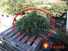 Záhradkár prezradil, prečo nikdy nelikviduje vypletú burinu: Na toto prišiel úplnou náhodou a 2x väčšiu úrodu!