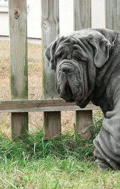 Mastino Napoletano---i need another big dog like I need a hole in my head but these are super cute