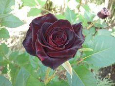 Black+Baccara+Hybrid+Tea+Rose | rose 'Black Baccara ®' » Hybrid Teas » Modern Roses » Garden Roses ...