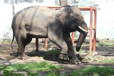 Exclusive Photos: Zoos Tie Elephants' Legs Together So They Can't Walk