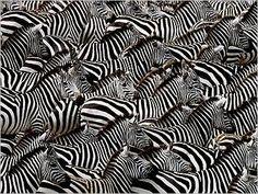 Kenya Art | img_Zebres--Kenya_Art-WOLFE_ref~110.001154.00_mode~zoom.jpg Plus