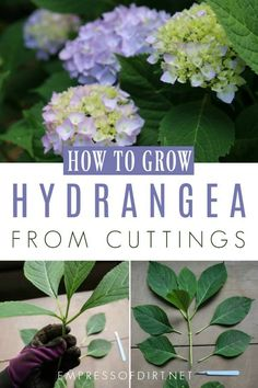 to grow hydrangea from cuttings. Propagate new plants from the ones you have.How to grow hydrangea from cuttings. Propagate new plants from the ones you have. Hydrangea Landscaping, Backyard Landscaping, Landscaping Ideas, Outdoor Plants, Garden Plants, Flowering Plants, Herb Plants, Outdoor Gardens, Gardening For Beginners
