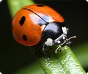 Lady bug-coccinellidae, life 2-3 years in the wild. FACT: did you know ladybugs have been in space. In 1999 NASA sent a few into space along with aphids to see how the could escape their predators in zero gravity