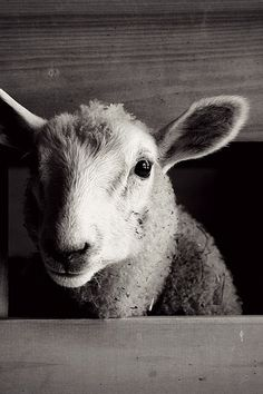 sheep animals, Black and White Photography