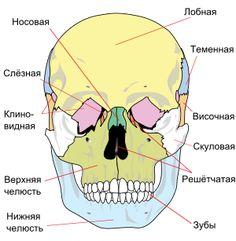 300px-Human_skull_front_simplified_(bones)_ru.svg.png