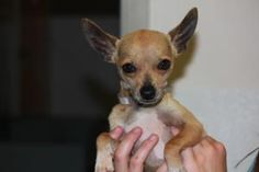 Moses is an adoptable Chihuahua Dog in South Burlington, VT. Moses may be small is size, but he has a larger than life personality! Moses is very small and delicate. He loves to be picked up and snugg...