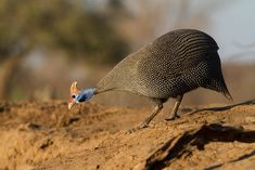 Helmeted guineafowl walking down to the edge of the water to have a drink. #travel #safari #Africa #wildlife #wild #nature #animals #birds #helmeted #guineafowl #Numididae #Galliformes #drink #waterhole Fallen Fruits, Spotted Animals, Guinea Fowl, Wild Nature, In The Tree, Birds Of Prey, Bird Species, Nature Animals, Fun Facts