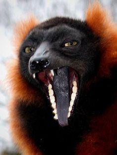 Red Ruffed Lemur Tongue!