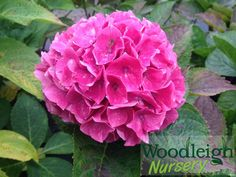 Hydrangea macrophylla Princess Beatrix from Woodleigh Nursery Hydrangea Macrophylla, Perennials, Pink Blue, How To Find Out, Nursery, Rose, Flowers, Plants, Princess
