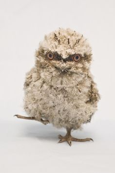 ZooBorns: cute exotic baby animals born at zoos around the world. Here's a tawny frogmouth chick - this was born at SeaWorld, Orlando Baby Owls, Cute Baby Animals, Beautiful Birds, Animals Beautiful, Seaworld Orlando, Newborn Animals, Grand Duc, Photo Animaliere, Tier Fotos