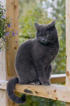 Русская голубая кошка (фото): сдержанная красавица с зелёными глазами