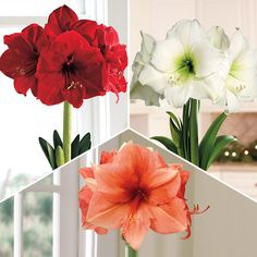 3-Month Amaryllis Club (Dec-Feb): Give 3 months of continuous color with this desirable gift. The lucky recipient will receive an attractive announcement, followed by our 3-in-1 Grand Trumpet® Amaryllis in a beautifully etched container. Then in January and February, they will receive a new Amaryllis every month, each featuring a stylish new color. These arrive in lovely seagrass baskets. -- This product is no longer available, however click the image to see this year's Amaryllis Bulb Gifts!