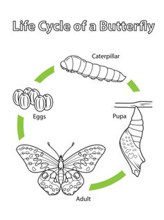 Here is a little monarch life cycle activity that we