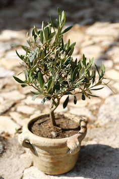 Zoom: Miniature olive tree growing in a rustic terracotta pot in a garden in Provence France Garden Landscape Design, Garden Landscaping, Planter Olivier, Olivier En Pot, Natural Placemats, Olive Tree, Growing Tree, Terracotta Pots, Herb Garden