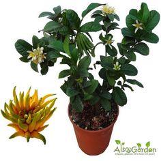 Connaissez-vous le Cédratier 'Main de Bouddha' ? Une plante rare et originale, acheter un plant de Cédratier 'Main de bouddha' (Citrus medica 'Digitata'), cliquez ici : http://www.alsagarden.com/achat-citrus-medica-digitata-cedratier-main-de-bouddha--345841.html