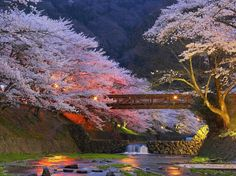 Cherry trees near Kyoto, Japan